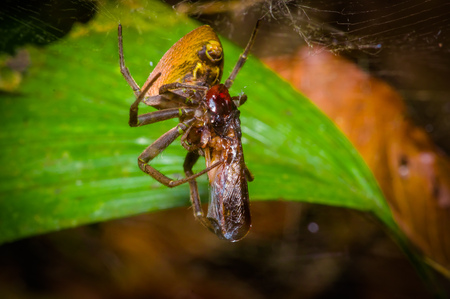 A tiny spider with a bug wrapped with a spider web found in the Amazon jungle region of Cuyabeno National Park, in Ecuador