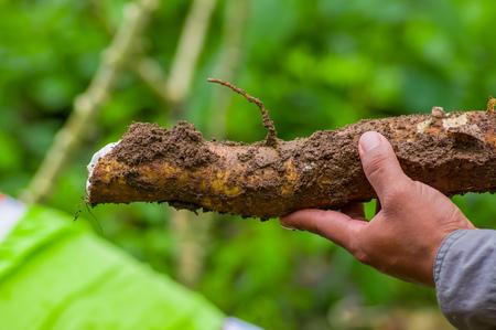 Un hombre que sostiene una raíz de planta de yuca, dentro del bosque amazónico en Cuyabeno, Ecuador Foto de archivo - 80733841