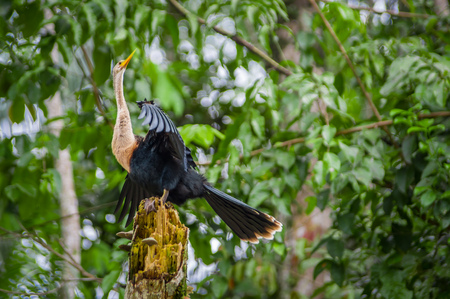 Anhinga or snakebird sittting over a branch, inside of the amazon rainforest in the Cuyabeno National Park in Ecuador