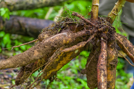 Root of yucca plant, inside of the amazon forest in Cuyabeno, Ecuador