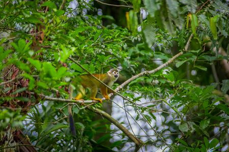 Common squirrel Monkey playing in the trees, inside of Cuyabeno National Park in Ecuador, South America