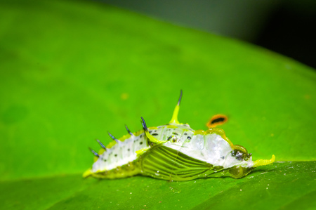 Small dead insects on a green leaf in the amazon rainforest in Cuyabeno National Park, in Ecuador Stock Photo