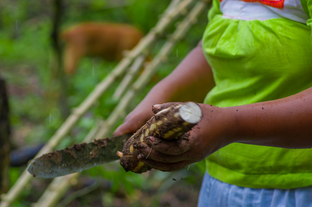 Cutting a root of yucca plant, inside of the amazon forest in Cuyabeno, Ecuador Stock Photo