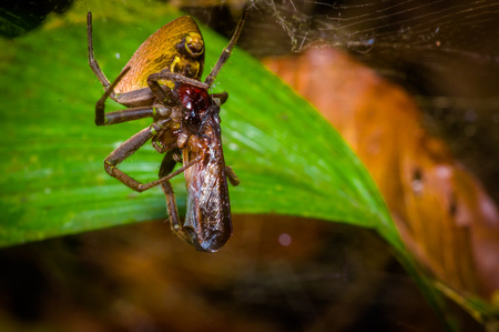 hairy legs: A tiny spider with a bug wrapped with a spider web found in the Amazon jungle region of Cuyabeno National Park, in Ecuador