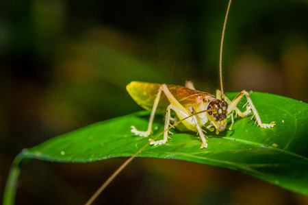 Colorful Grasshopper sitting over green leafs, in Cuyabeno National Park, in Ecuador
