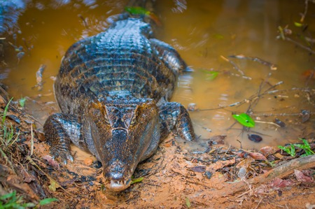 Caiman in the muddy water on the bank of the Cuyabeno River, Cuyabeno Wildlife Reserve, Ecuador