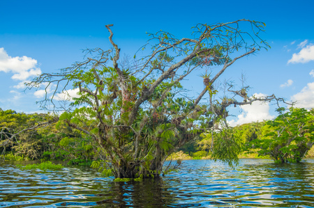 Water trees found in tropical and subtropical tidal areas, Cuyabeno Wildlife Reserve National Park, in Ecuador, in a sunny day