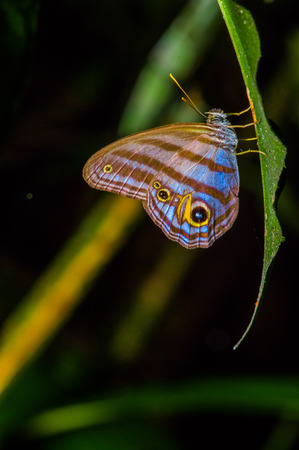 Giant Caligo Oileus Butterfly, the owl butterfly, Amazonian rainforest, in Cuyabeno National Park in South America Ecuador