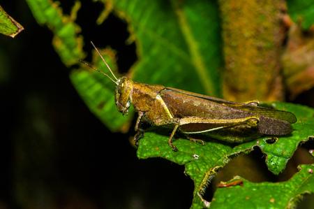 Colorful Grasshopper climbing over green leafs, in Cuyabeno National Park, in Ecuador