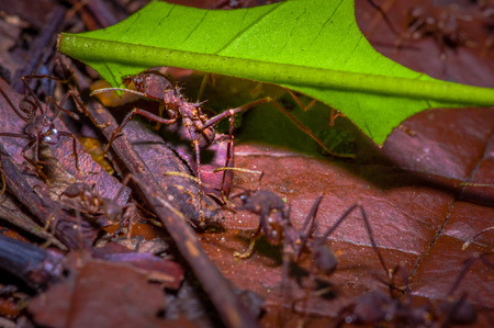 Small red ants cutting tree leafs, on the ground inside the forest in Cuyabeno National Park, in Ecuador
