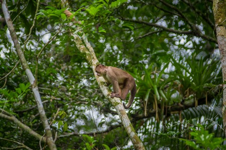 Wild Capuchin Monkey sitting over a branch, inside of the amazon rainforest in Cuyabeno National Park in Ecuador