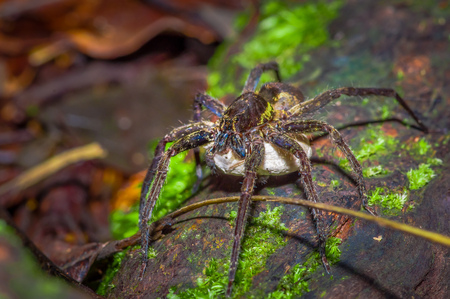 A large spider carrying below her a white bag of eggs, inside of the forest in Cuyabeno National Park, in Ecuador