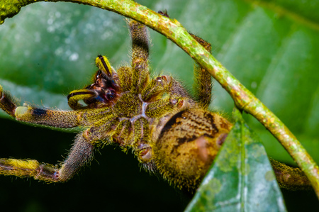Venomous wandering spider Phoneutria fera sitting on a heliconia leaf in the amazon rainforest in the Cuyabeno National Park, Ecuador
