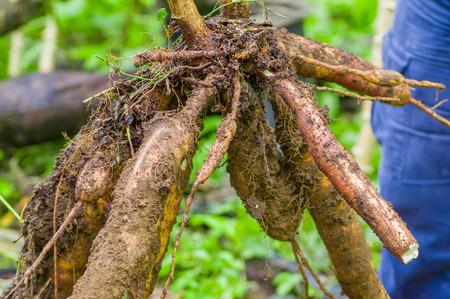 Cuyabeno, 에콰도르에서 아마존 숲의 내부 유카 식물의 뿌리