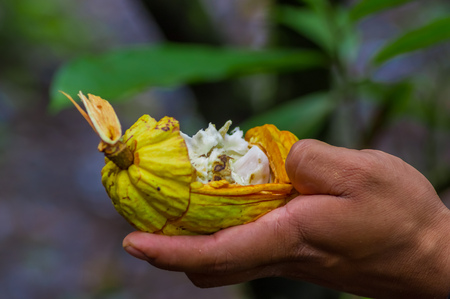 close up food: Close up of fresh Cocoa fruit in farmers hands. Organic cacao fruit - healthy food. Cut of raw cocoa inside of the amazon rainforest in Cuyabeno National Park in Ecuador Stock Photo