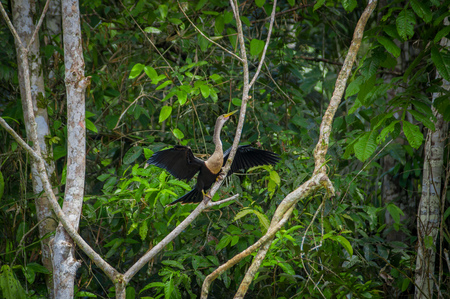 shallow: Anhinga or snakebird sittting over a branch, inside of the amazon rainforest in the Cuyabeno National Park in Ecuador