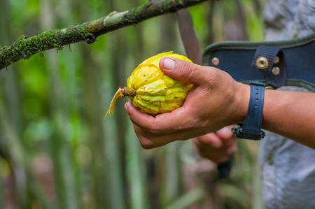 Fresh Cocoa fruit in farmers hands. Organic cacao fruit - healthy food. Cut of raw cocoa inside of the amazon rainforest in Cuyabeno National Park in Ecuador Stock Photo