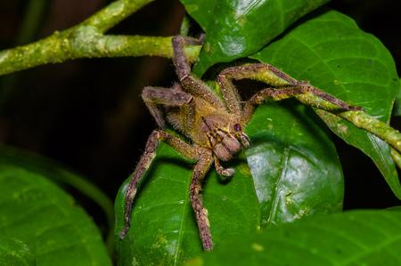 악의 찬 방랑 거미 Phoenutria fera는 Cuyabeno 국립 공원, 에콰도르에서 아마존 열대 우림에 heliconia 잎에 앉아 스톡 콘텐츠