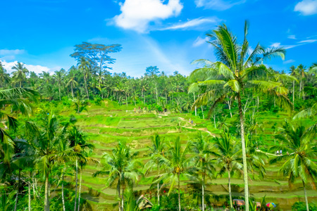 jade plant: Beautiful panoramic view with green rice terraces near Tegallalang village, Ubud, Bali, Indonesia