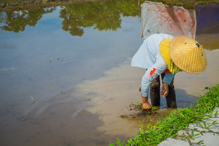 Farmer planting some rice seeds in a flooded land in terraces, Ubud, Bali, Indonesia Stock Photo