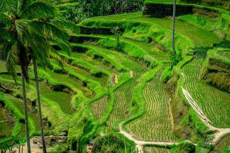 ubud: The most dramatic and spectacular rice terraces in Bali can be seen near the village of Tegallalang, in Ubud Indonesia