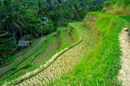 jade plant: Beautiful landscape with green rice terraces near Tegallalang village, Ubud, Bali, Indonesia Stock Photo
