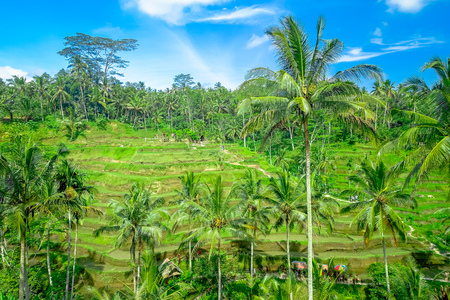 Beautiful panoramic view with green rice terraces near Tegallalang village, Ubud, Bali, Indonesia
