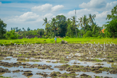 Some herons eating small animals in green rice field, rice in water on rice terraces, Ubud, Bali, Indonesia