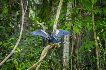 sittting: Anhinga or snakebird sittting over a branch, inside of the amazon rainforest in the Cuyabeno National Park in Ecuador