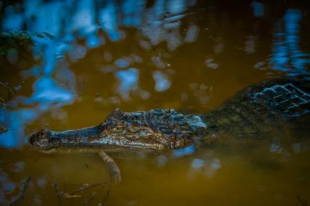 rain forest animal: Caiman in the dark water in the Cuyabeno River, Cuyabeno Wildlife Reserve, Ecuador