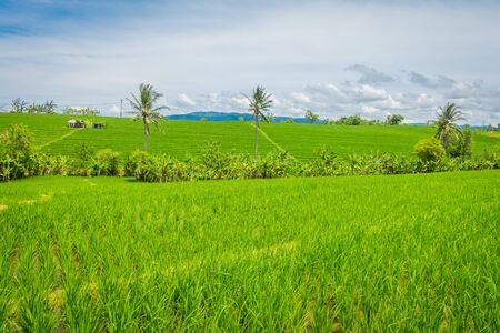 Green rice field close up. Rice in water on rice terraces, Ubud, Bali, Indonesia