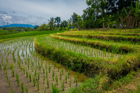 jade plant: Beautiful green rice terraces with small rice plants growing, near Tegallalang village in Ubud, Bali Indonesia