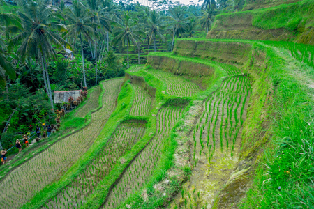 terraced field: Beautiful landscape with green rice terraces near Tegallalang village, Ubud, Bali, Indonesia Stock Photo