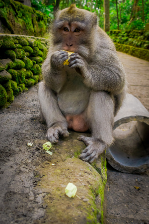 Long-tailed macaques Macaca fascicularis in The Ubud Monkey Forest Temple eating a cob corn using his hands, on Bali Indonesia Stock Photo
