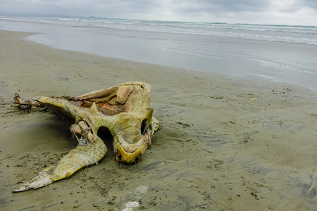Beautiful beach with pacific ocean background, sandy surface, with a dead decomposed turtle on the sand, in Muisne Island Ecuador Reklamní fotografie
