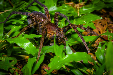 A large spider walking on the ground inside of the forest in Cuyabeno National Park, in Ecuador