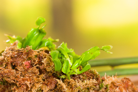 Exotic insect-eating predator flower Venus flytrap dionaea planted over a substratum of wood, moss a ground with nutrients