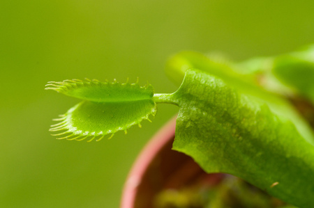 Exotic insect-eating predator flower Venus flytrap dionaea in a green background
