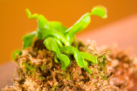 Close up of an exotic carnivorous flower Venus flytrap dionaea planted over a substratum of wood, moss a ground with nutrients