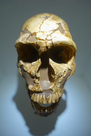HOUSTON, USA - JANUARY 12, 2017: Close up of a skull in National Museum of Natural Science in Orlando Houston in USA, in a wall background
