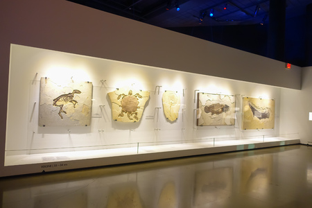 fossilized: HOUSTON, USA - JANUARY 12, 2017: A complete fossilized of different animals in an exposition over a wall in National Museum of Natural Science in Orlando Houston in USA Editorial
