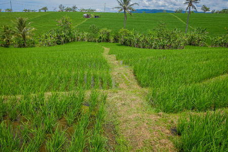 Green rice field, rice in water on rice terraces, Ubud, Bali Stock Photo
