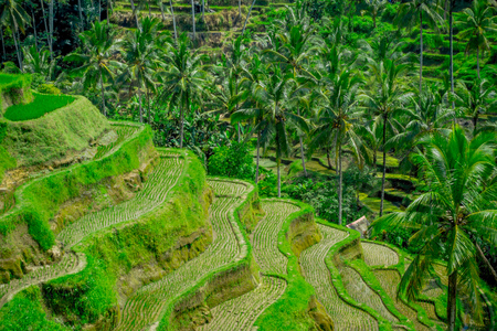 The most dramatic and spectacular rice terraces in Bali can be seen near the village of Tegallalang, in Ubud Indonesia