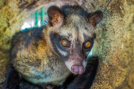 The animal civet is used for the production of expensive most gourmet coffee Kopi Luwak, in Bali Indonesia