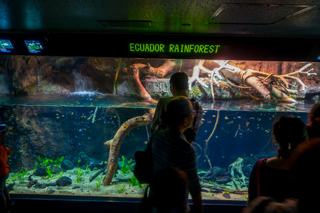 originative: OSAKA, JAPAN - JULY 18, 2017: Unidentified people looking the ecuadorian species of fish originative from the Ecuadorian Rainforest in south america, at Aquarium of Osaka. Editorial