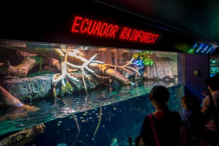 OSAKA, JAPAN - JULY 18, 2017: Unidentified people looking the ecuadorian species of fish originative from the Ecuadorian Rainforest in south america, at Aquarium of Osaka. Editorial