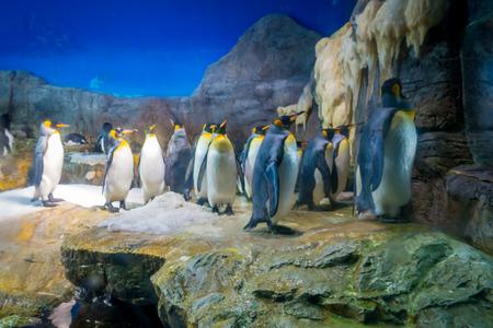 public aquarium: Penguin in Osaka Aquarium Kaiyukan. Osaka Aquarium Kaiyukan is one of the largest public aquariums in the world loctaed in Osaka, Japan.