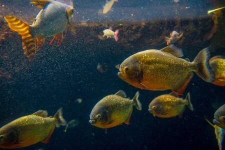 pygocentrus: Red Piranha originative from the Ecuadorian Rainforest in south america, at Aquarium of Osaka. Stock Photo