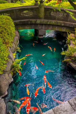 amoniaco: Beautiful koi fish swimming in pong in a small river, pond surrounded by green shrubs in Japanese garden Asakusa Kannon Temple in Tokyo, Japan.