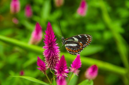 エクアドルのミンド、いくつかの美しいを参照してくださいに最適なスポットの蝶、蜜をなめるにカラフルな花をポーズ茶色とオレンジ色の翼 写真素材